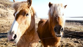 Horses village north. Horses in village in the north of country stock video footage