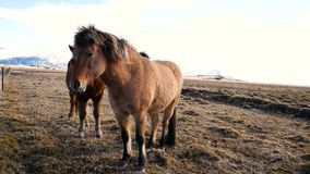 Horses village north. Horses in village in the north of country stock video
