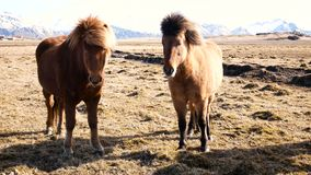 Horses village north. Horses in village in the north of country stock footage