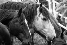 Horses waiting in a pen Royalty Free Stock Image