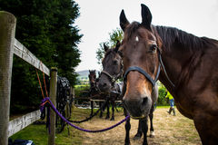 Horses waiting to be harnessed to a carriage. A team of four horses wait patiently in a training field, ready to be harnessed to pull a carriage Royalty Free Stock Image