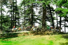 Horses waiting under some trees in a green field. Shimla, India - 27th Apr 2018: Tourists riding horses under fir pine trees on the side of a fenced field. This Stock Photos
