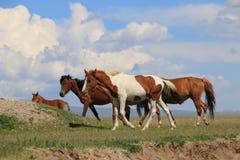 Horses. Walk on the grass Royalty Free Stock Photo