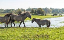 Horses walking along a lake at fall Stock Photography