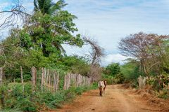 Horses walking on a dirt road in a rural tropical area royalty free stock photo