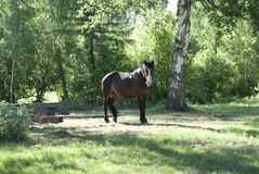Brown horse stands among the trees. Horses walking in the field, greenery, summer, recreation, rural, farm Royalty Free Stock Image