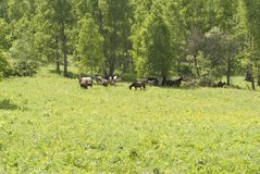Horses walking in the field. Greenery, summer, recreation, rural, farm Royalty Free Stock Image