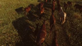 Horses walking on grass. Horse herd is slowly moving. Follow the leader. Don't give up on halfway stock footage