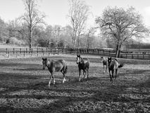 Horses walking on paddock Royalty Free Stock Images