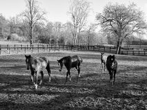 Horses walking on paddock Royalty Free Stock Photography