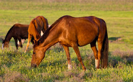 Horses are walking in the pasture at sunset Royalty Free Stock Photo