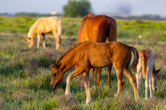 Horses are walking in the pasture at sunset Royalty Free Stock Images