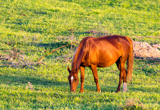 Horses are walking in the pasture at sunset Stock Images