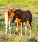 Horses are walking in the pasture at sunset Royalty Free Stock Photography