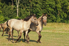 Horses walking on pastureland Stock Image