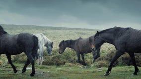 Horses Walking In Rainy Wilderness stock video