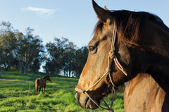 A horses watchful eye on his buddy Stock Photo