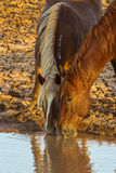 Horses At Water Hole. Vertical Composition of Close Up Of Two Wild Horses Drinking At A Water Hole, McCullough Peaks Wild Horse Herd Management Area, Wyoming Stock Photo