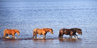Horses in water of lake Stock Images