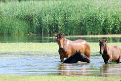 Horses in water Royalty Free Stock Image