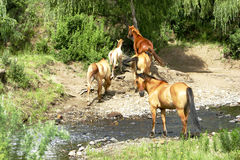 Horses at waterhole. These horses are used as riding horses but they also roam the mountains in golden gate national park south africa Stock Photos