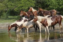 Horses at the Waterhole during the Roundup. Yearling Chincoteague Ponies at a waterhole during one of the roundups on Chincoteague National Wildlife Refuge Stock Photo