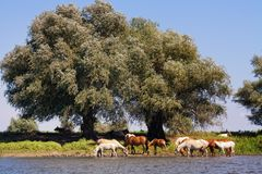 Horses at the Watering Royalty Free Stock Photography