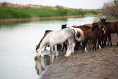 Horses at the Watering Stock Image