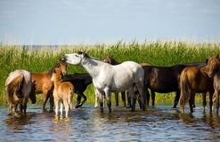 Horses on the watering. Stock Photography