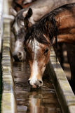 Horses at the watering hole Royalty Free Stock Image