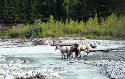Horses at the watering hole at the mountain river Royalty Free Stock Image
