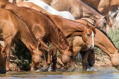 Horses at a watering place drink water and bathe during strong heat and drought. Kalmykia region, Russia royalty free stock photos