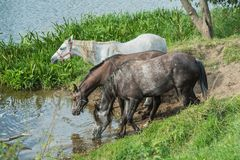 Horses at a watering place on the river Royalty Free Stock Image