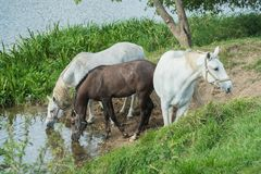 Horses at a watering place on the river Stock Images