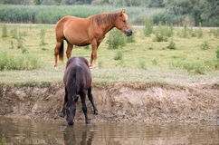Horses at the watering place Stock Photo