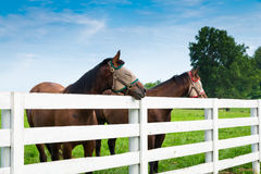 Horses wearing fly masks in summer at horse farm Stock Image