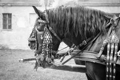 Horses of wedding carriage Royalty Free Stock Image
