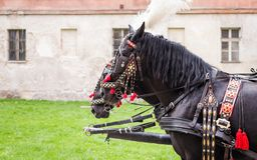 Horses of wedding carriage. In Cracow ( Krakow ), Poland royalty free stock photos
