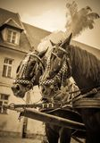 Horses of wedding carriage Royalty Free Stock Photo