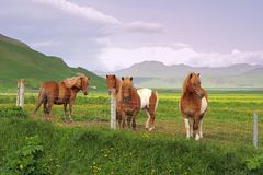Horses on west fjords Royalty Free Stock Photos