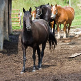 Horses on West Virginia Farm Royalty Free Stock Images