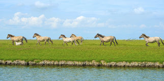 Horses in wetland in summer Royalty Free Stock Image