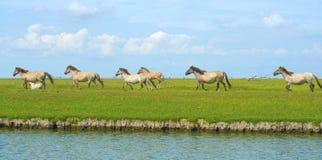 Horses in wetland in summer. Konik horses in wetland in summer Royalty Free Stock Image