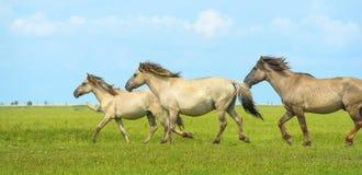 Horses in wetland in summer. Konik horses in wetland in summer Stock Photo