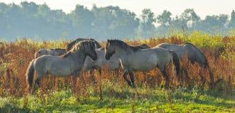 Horses in wetland in summer. Konik horses in wetland in sunlight in summer Stock Photo