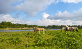 Horses in wetland in summer. Horses in wetland in sunlight n summer Royalty Free Stock Photo