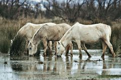 Horses of the wetlands Stock Photography