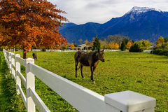 Horses and white fence on a ranch in British Columbia, Canad Stock Photo