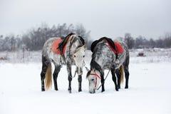 Horses on white snow. Grey horses on white snow Stock Photo