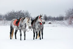 Horses on white snow. Grey horses on white snow Royalty Free Stock Photography
